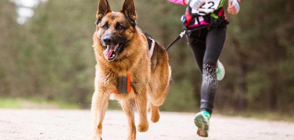 Jak běhat se psem, canicross